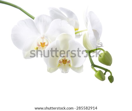 White orchid isolated on white background. - stock photo