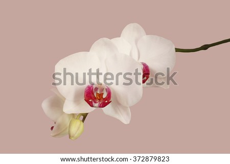 White orchid on a pink background. Isolated