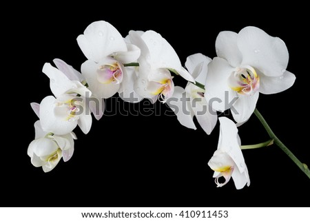 White orchid phalaenopsis flower covered with water drops, isolated on a black background