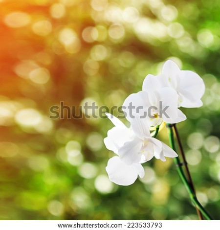 White orchid, sunny bokeh in background. Shallow depth of field. Focused on the front flower.