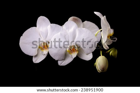 White orchid with buds on a black background - stock photo