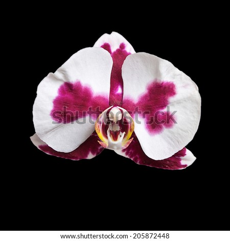 White orchid with purpur spots on the black background, isolated
