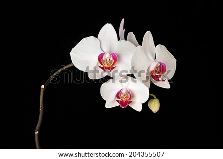 White orchid with three open flowers on the black background