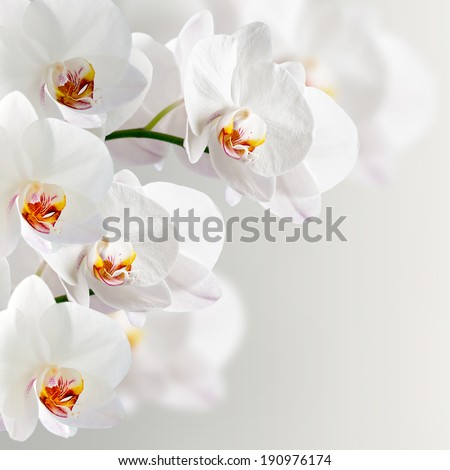 White orchidea on the grey background - stock photo