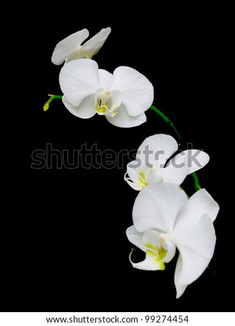 white orchids blooming branch on a black background closeup