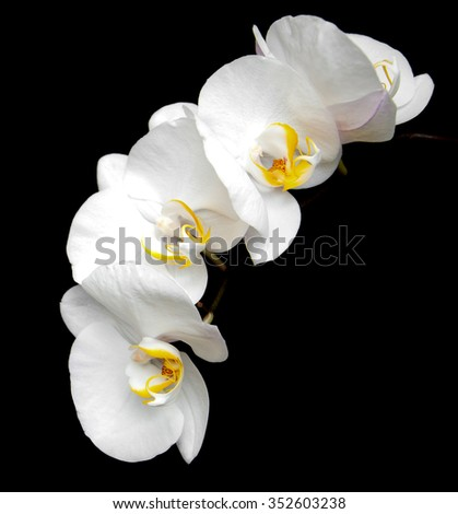 White orchids isolated on a black background