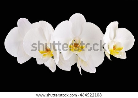 White orchids on a black background isolated