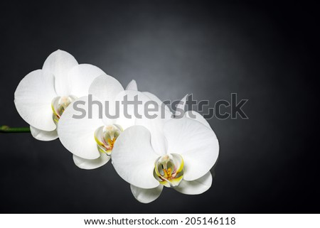white orchids on black