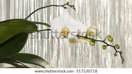 White orchids with yellow middles on white tulle background. Against the sun.