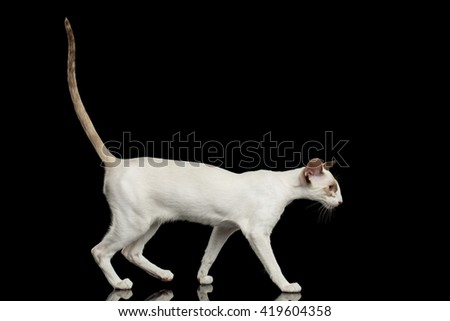 White Oriental Cat With Big Ears and Raised tail Walking, Black Isolated Background
