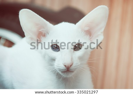 White oriental cat with eyes of different colors