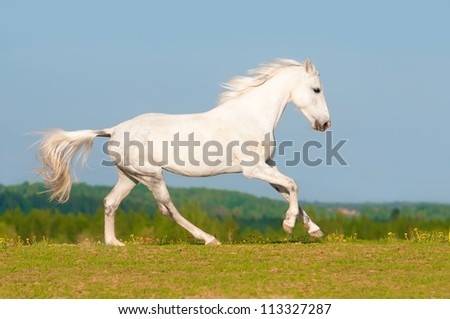 White Orlov trotter horse runs gallop on the sky background in summer