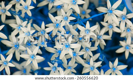 White Ornithogalum (Grass Lily) Flowers with Blue Leaves (16:9 Aspect Ratio) - stock photo