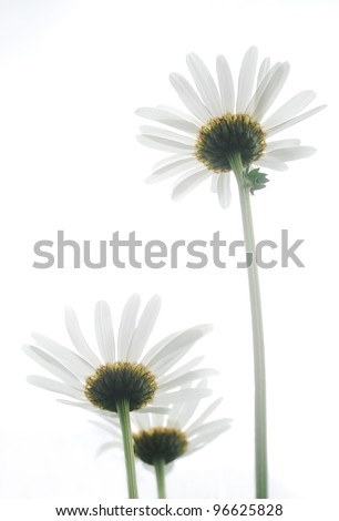 White ox-eye daisies isolated on white background. - stock photo