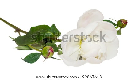 White Paeonia peregrina with buds isolated, white background, close up