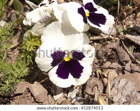 White Pansy flowers in the garden