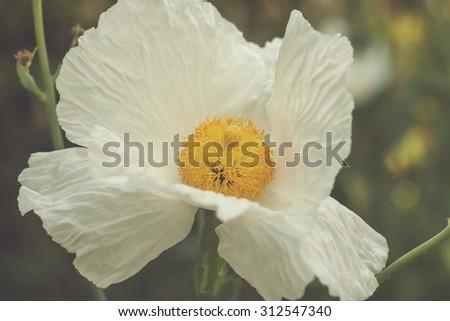 white papaver - stock photo