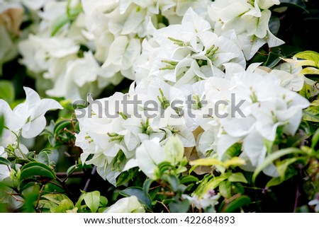 White paper flowers have been thailand stock photo royalty free white paper flowers have been in thailand scientific name is bougainvilleaantae kingdom mightylinksfo