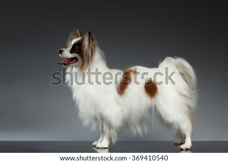 White Papillon Dog Stands and Looking Forward on black background - stock photo