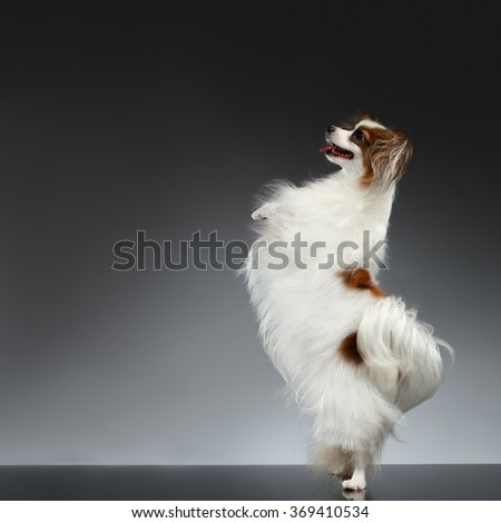 White Papillon Dog Stands on Rear Paws and Raise up on black background - stock photo