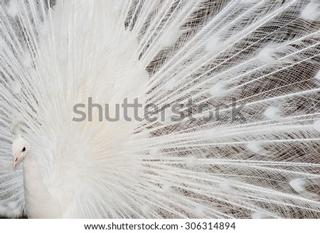 white peacock feathers detail