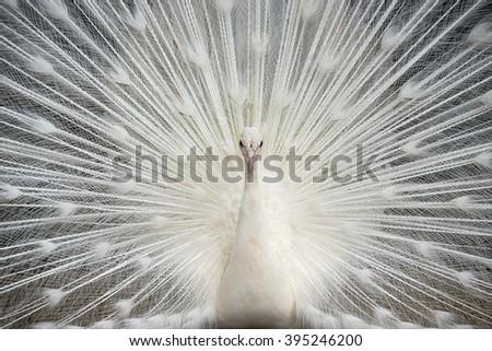 White Peacock Finery - stock photo