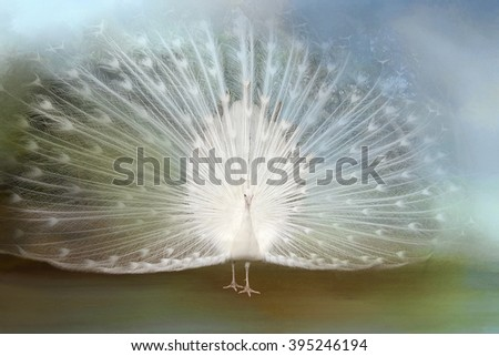 White Peacock on Blue Background - stock photo
