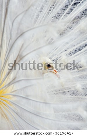 white peacock side view - stock photo