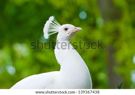 white peafowl - stock photo