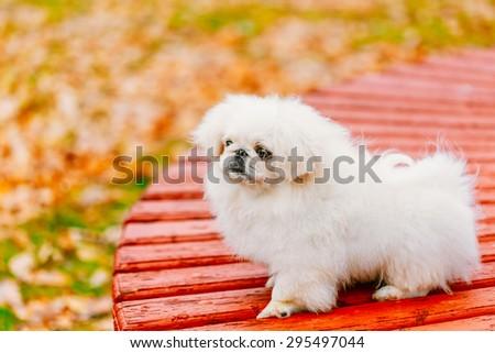 White Pekingese Pekinese Peke Whelp Puppy Dog Sitting On Wooden Bench In Autumn Park - stock photo