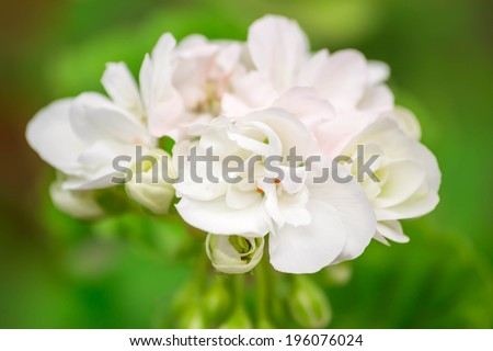 white pelargonium (pelargonium hortorum) on a green background.