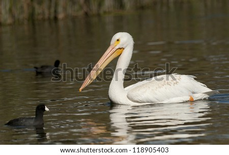 White Pelican and America Coots