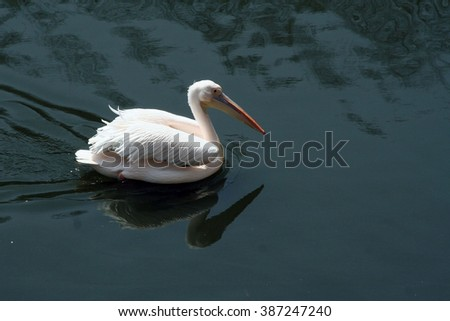 White Pelican. Bird Pelican floats in the water. Beautiful waterbird. Ornithology and Zoology and wildlife.  - stock photo