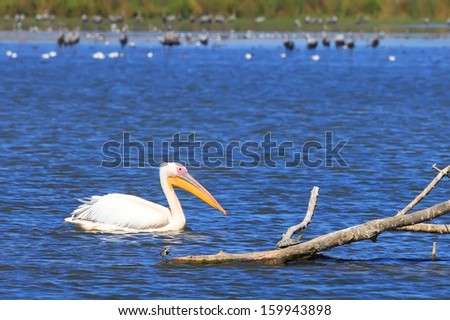 White pelican floating near a dry tree in natural habitat