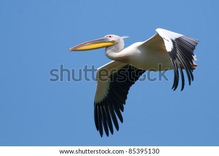 White Pelican in flight - stock photo