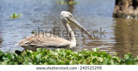 White pelican in Lake Nakuru National Park, Africa - stock photo