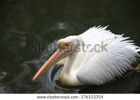 White Pelican in zoo - stock photo