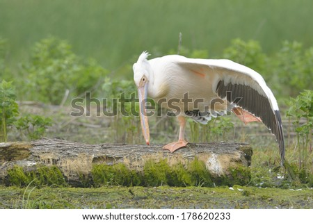 White Pelican on a Log in Danube Delta