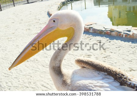 White Pelican (Pelecanus onocrotalus) also known as the Eastern White Pelican, Rosy Pelican or White Pelican is a bird in the pelican family - stock photo