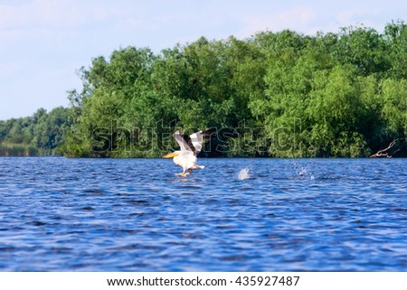 White Pelican (Pelecanus onocrotalus) taking off the lake Danube Delta