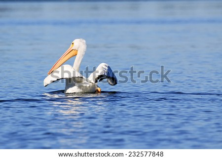 White pelican spreading its wings, Tennessee - stock photo