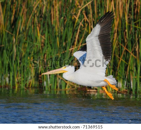White Pelicans - stock photo