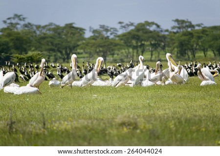 White Pelicans at Lake Naivasha, Great Rift Valley, Kenya, Africa - stock photo