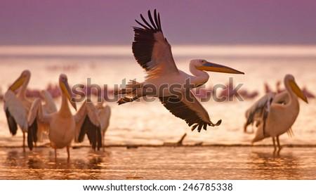 White pelicans at Lake Nakuru, Kenya, Eastern Africa - stock photo