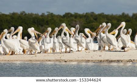 White pelicans at the Chokoloskee Island. - stock photo