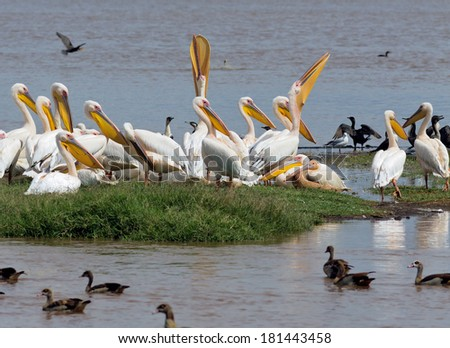 White pelicans fish swallow in Lake Nakuru National Park - Kenya, Eastern Africa - stock photo