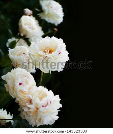 White Peonies - stock photo