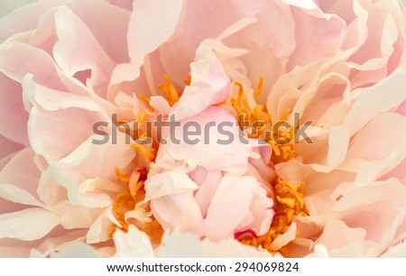 White peony closeup  for background