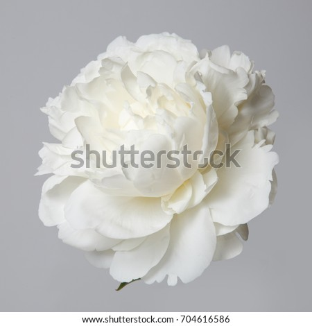 White peony flower isolated on gray stock photo royalty free white peony flower isolated on a gray background mightylinksfo Image collections