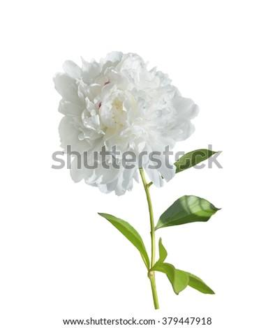 White Peony Flower Isolated on White Background - stock photo